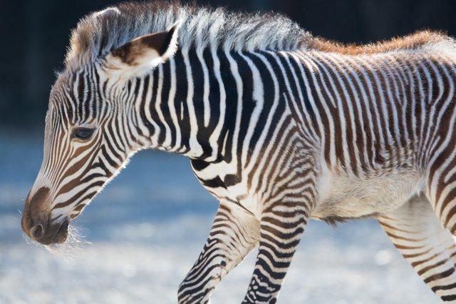 Grevy's zebra foal Nova_1-8-19_Robin  Winkelman Saint Louis Zoo_10.jpg