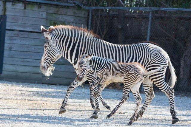 Grevy's zebra foal Nova_1-8-19_Robin  Winkelman Saint Louis Zoo_20.jpg