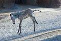 Grevy's zebra foal Nova_1-8-19_Robin  Winkelman Saint Louis Zoo_6.jpg