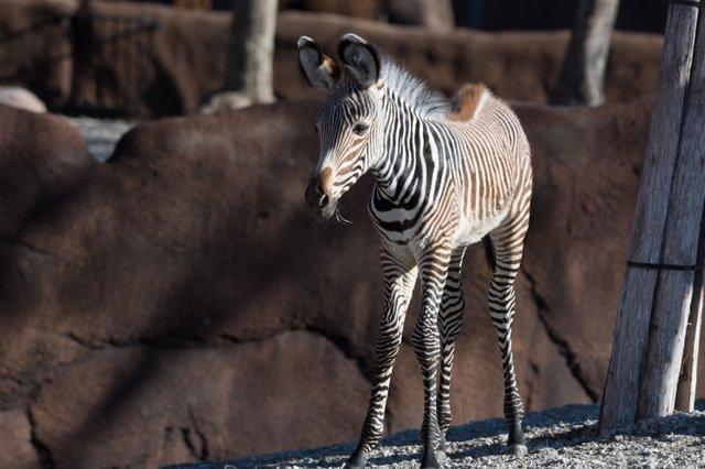 Grevy's zebra foal Nova_1-8-19_Robin  Winkelman Saint Louis Zoo_1.jpg