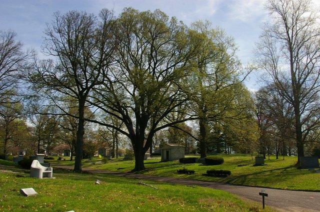 American elm.jpg