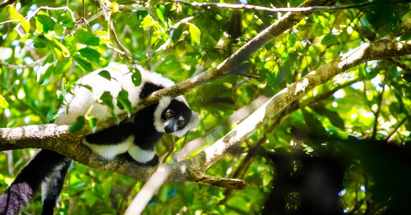 Ruffed lemur in Betampona by Fidy.jpg